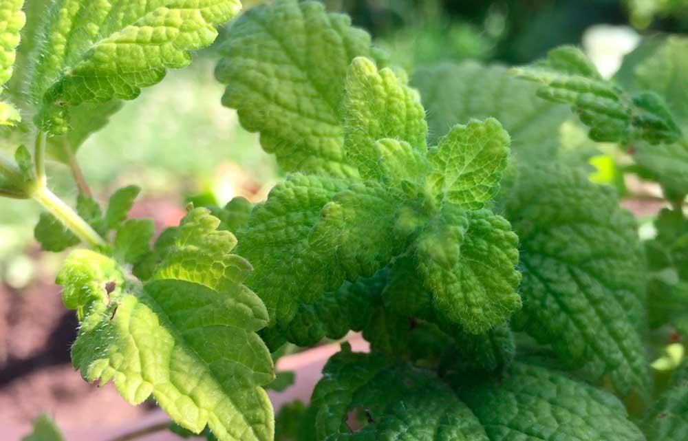 Citronmelisse til behandling af forkølelsessår